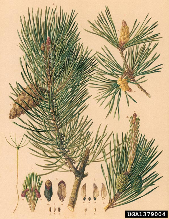 from to seed plant diagram cell project scots pine, pinus sylvestris (pinales: pinaceae) - 1379004