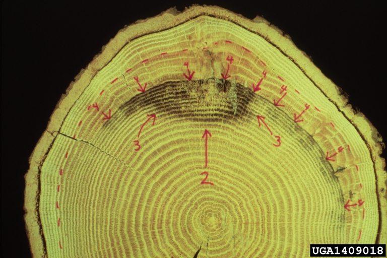 diagram of a pill bug 2008 ford f450 trailer wiring compartmentalization decay in trees (codit) on oak (quercus spp. ) - 1409018