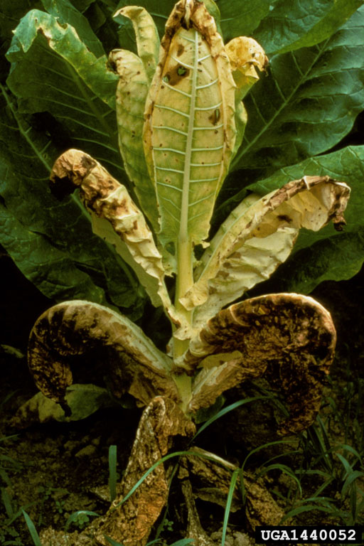 Phytophthora blight Phytophthora nicotianae  on burley tobacco Nicotiana tabacum burley type