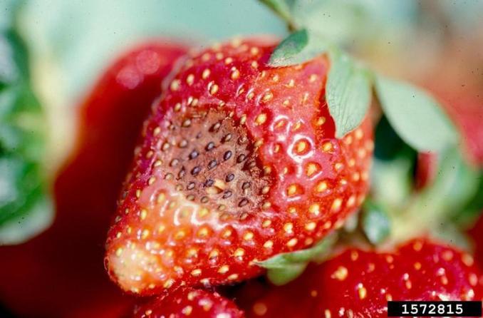 anthracnose (Colletotrichum acutatum ) on strawberry