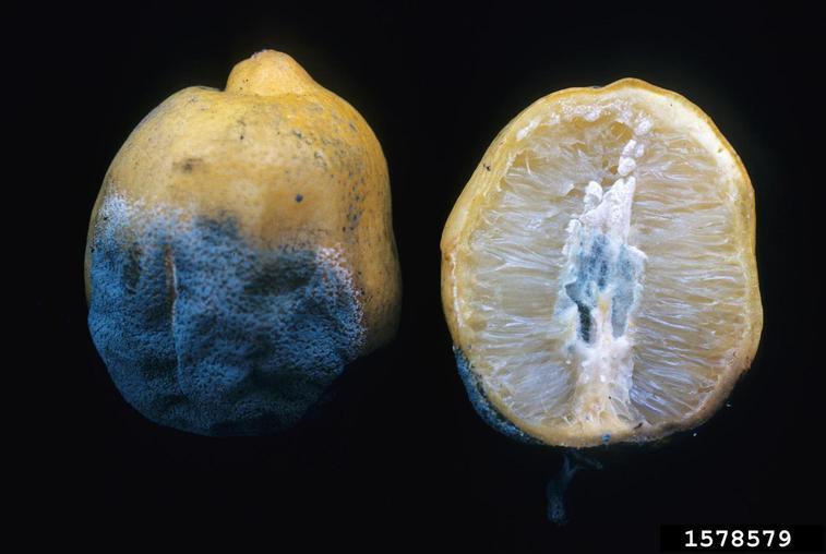 Penicillium Italicum Blue Mold
