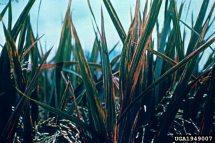 bacterial leaf streak Xanthomonas oryzae pv oryzicola