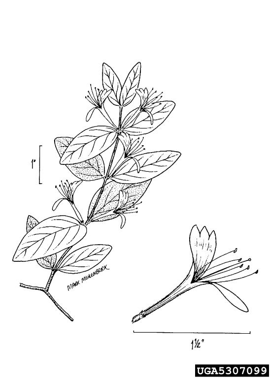 Japanese honeysuckle, Lonicera japonica (Dipsacales