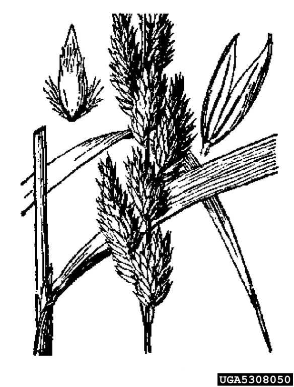 reed canarygrass, Phalaris arundinacea (Cyperales: Poaceae