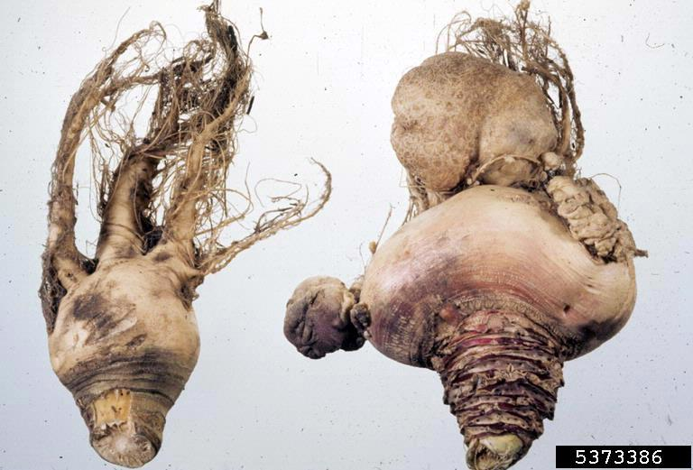 club root of crucifers Plasmodiophora brassicae  on