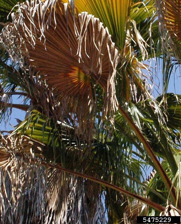 Fusarium wilt of queen and Mexican fan palms Fusarium