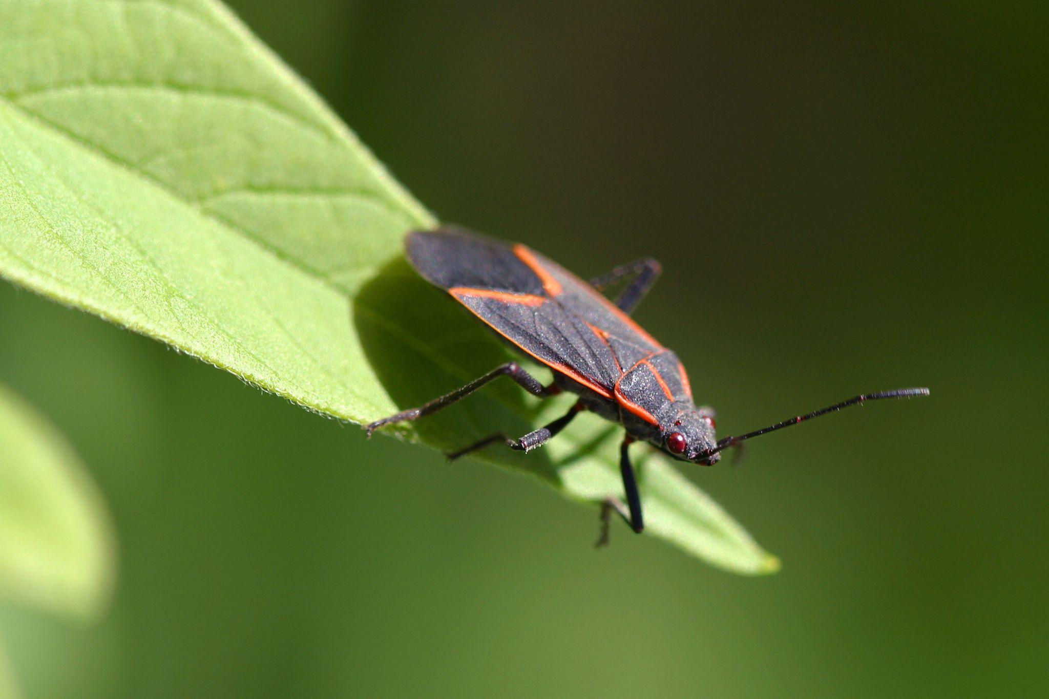 Boxelder Bugs And Stinkbugs  Bug Zapper Pest Control