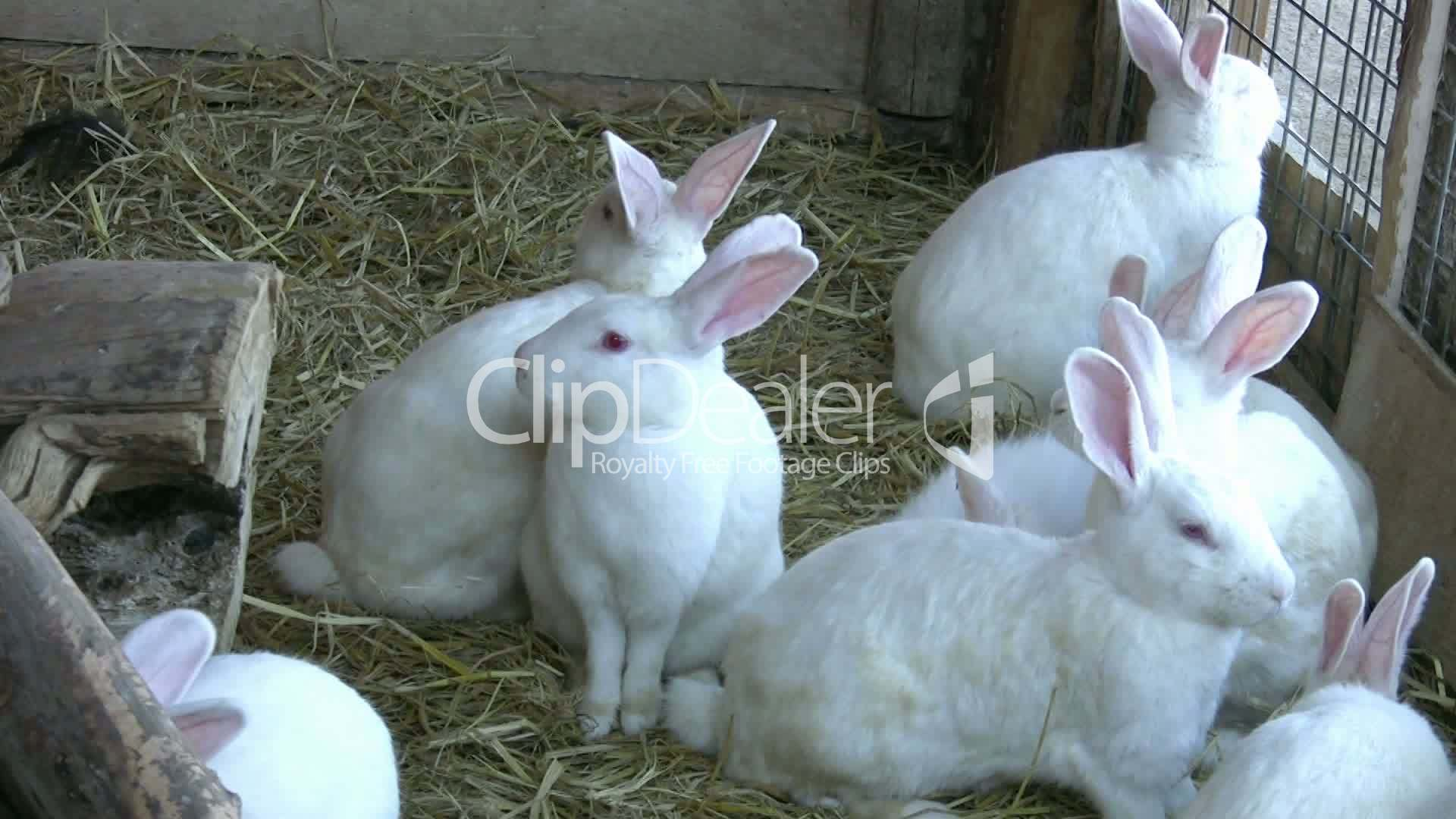 White Rabbits Royaltyfree video and stock footage