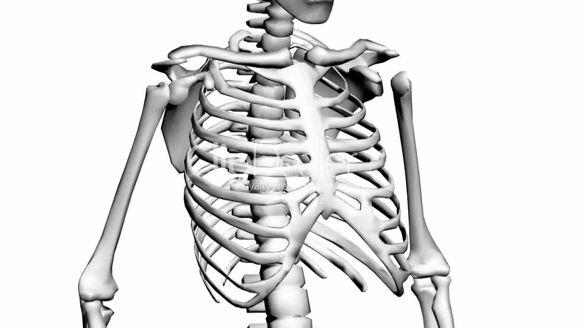 Rotation Of 3d Skeleton Ribs Chest Anatomy Human Medical Body Skull Biology Medicine Science