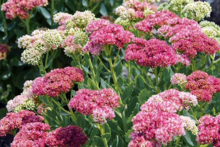 Pink sedum plant