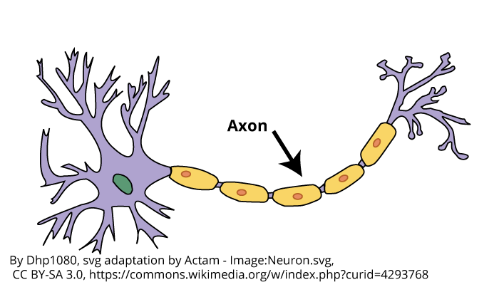 A drawing of a neuron