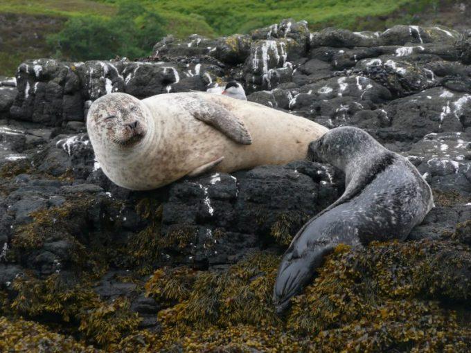 Contoh Hewan yang Tidak Mengalami Metamorfosis. Anjing Laut