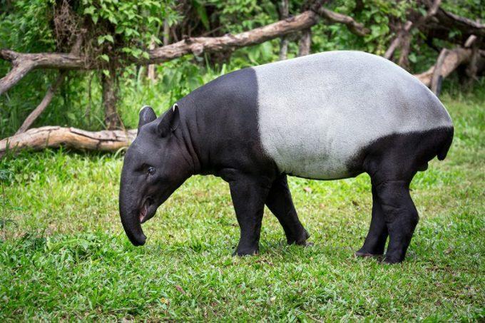 Contoh Hewan yang Tidak Mengalami Metamorfosis. Tapir