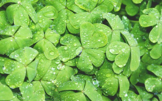 Contoh Tumbuhan Hidrofit. Semanggi Air