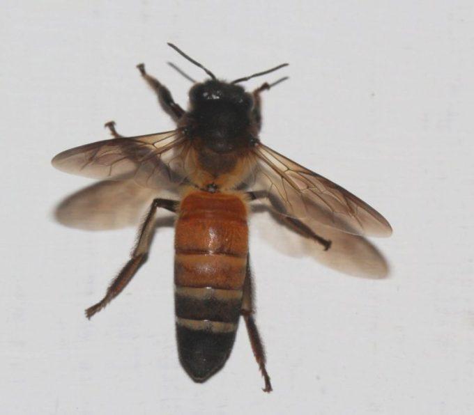 Budidaya Lebah Madu. Jenis Dorsata