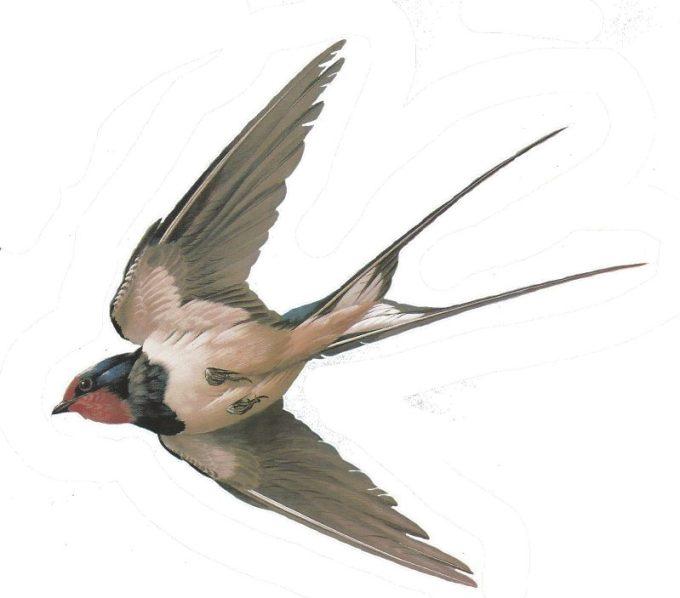 Mengenal Burung Walet dan Ciri-cirinya
