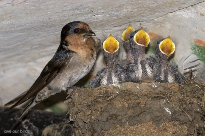 Budidaya Burung Walet. Pembibitan