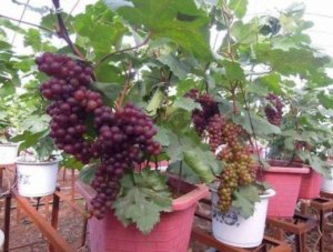 Tanaman Buah Dalam Pot. Anggur