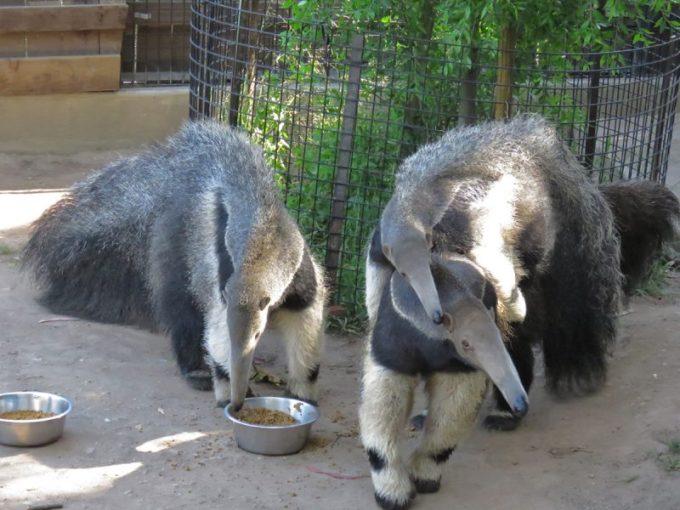 Binatang Pemakan Semut Giant Anteater