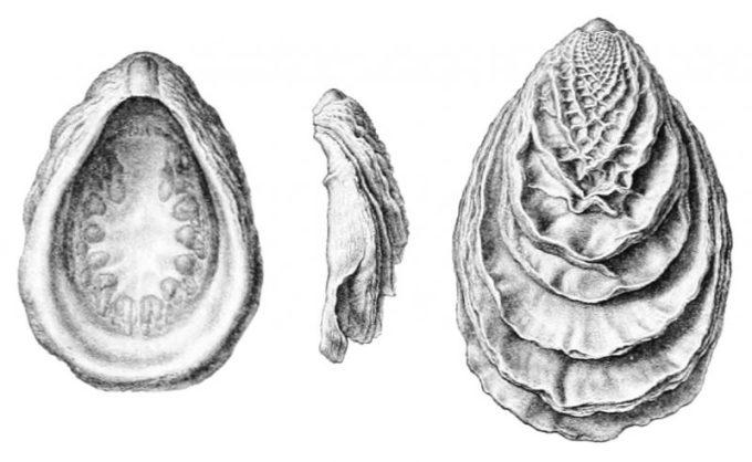 Hewan Berbadan Lunak Monoplacophora
