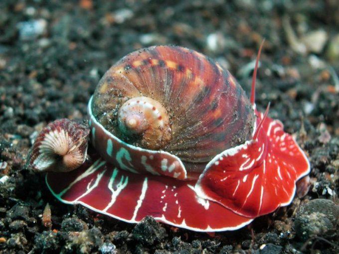 Hewan Berbadan Lunak Siput Laut2