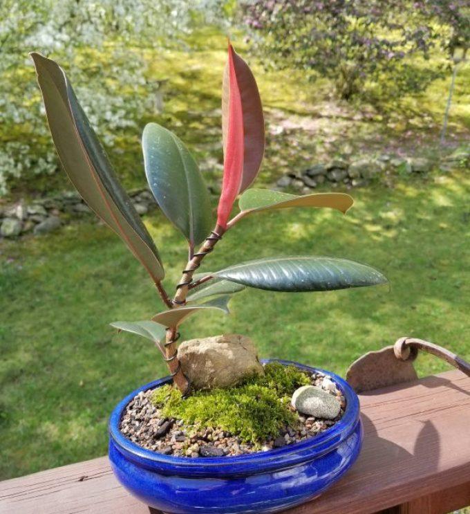 Tha Ficus Elastica Bonsai