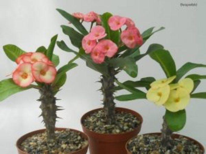 Thdp Euphorbia