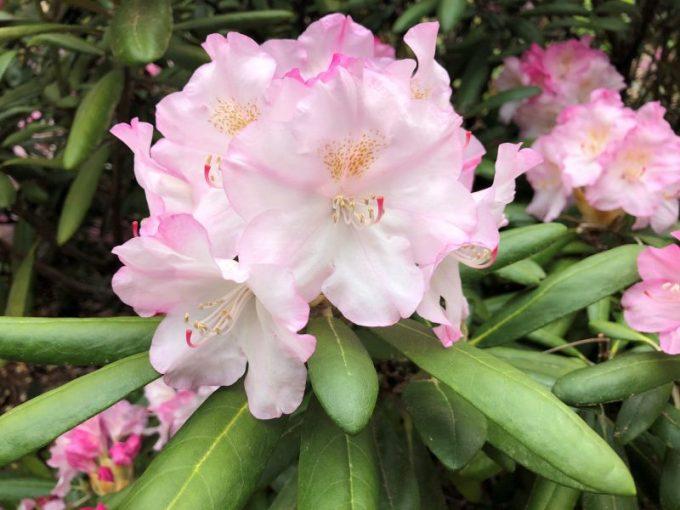 Tanaman Hias Dalam Pot. Rhododendron