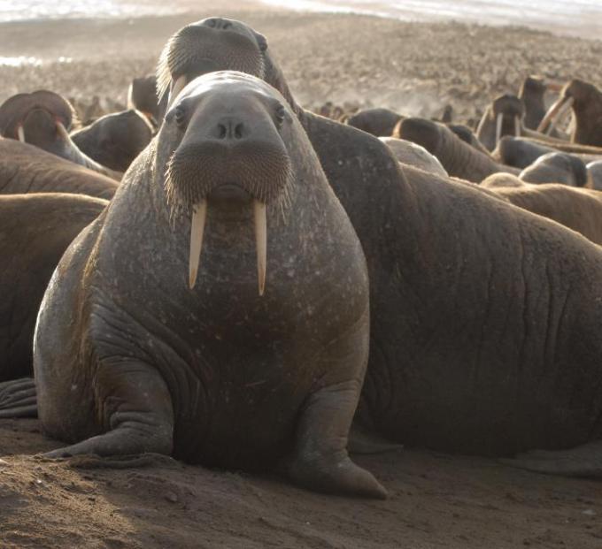 Hewan yang Hidup di Air. Walrus