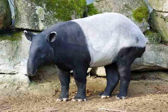 Hyhd Tapir
