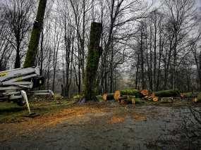 gargždai parkas kertami medžiai