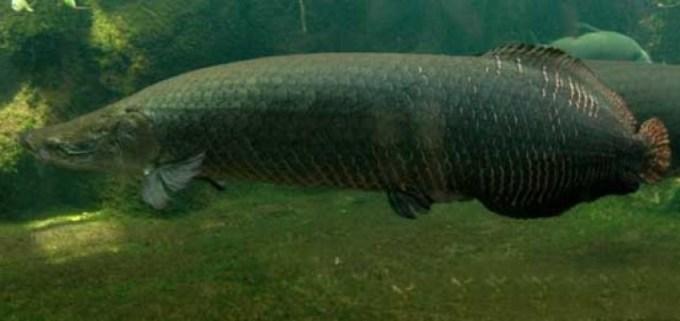 ikan air tawar arapima