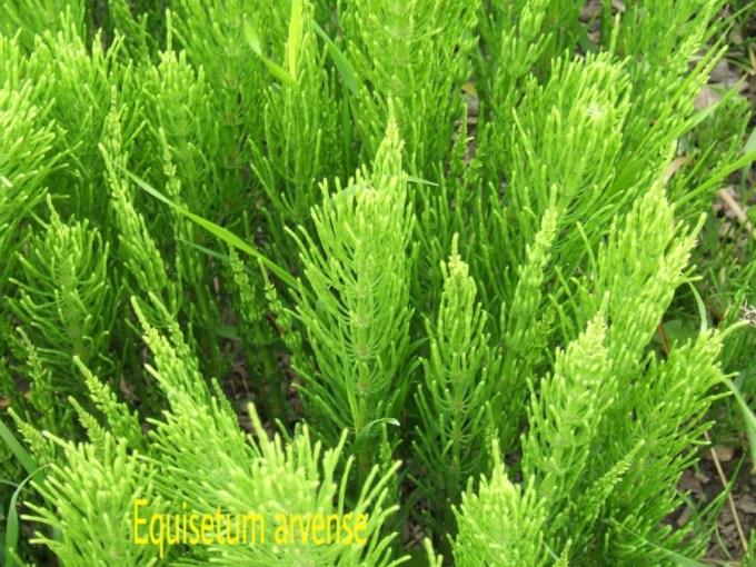 tumbuhan paku Equisetum_arvense