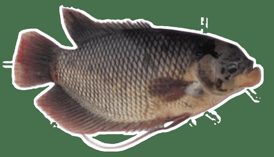 ikan air tawar gurame