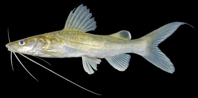 ikan air tawar baung