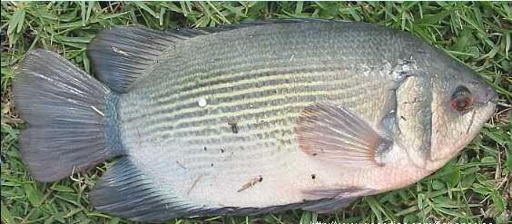 ikan air tawar tembakang