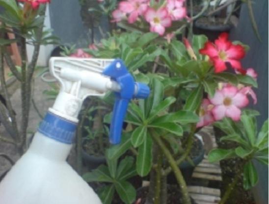 menyiram-bunga-adenium