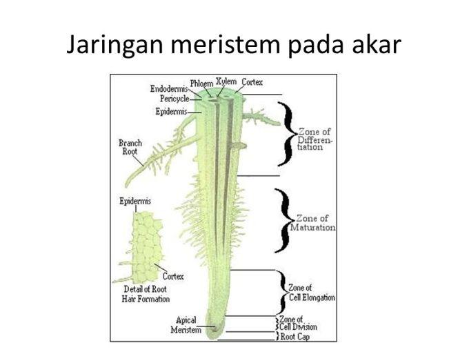 tumbuhan paku bagian akar