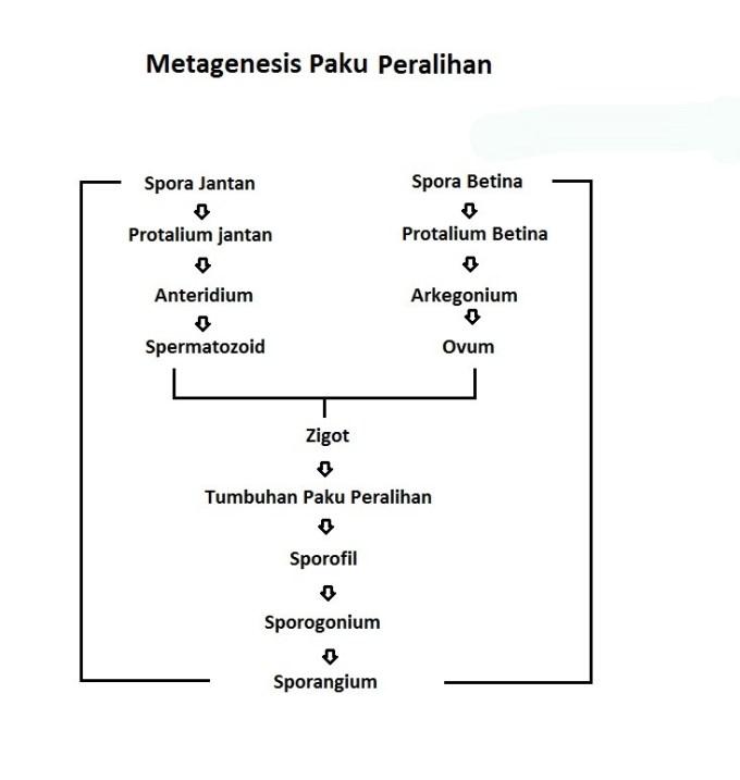 metagenesis tumbuhan paku peralihan
