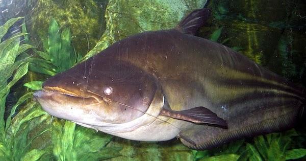 ikan air tawar toman