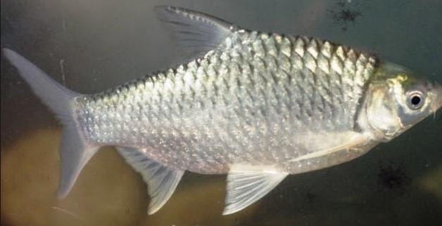 ikan air tawar tawes