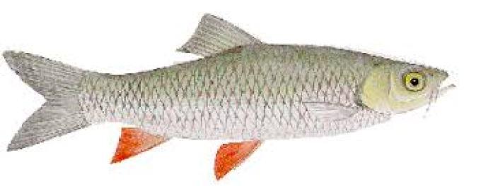 ikan air tawar wadon gunung