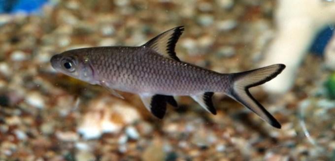 jenis ikan hias air tawar hiu bala yang imdah