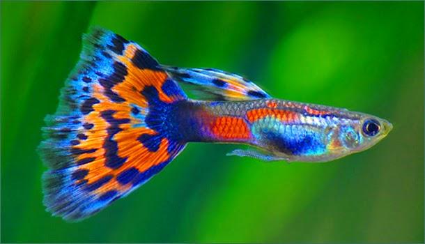 jenis ikan hias air tawar guppy indah