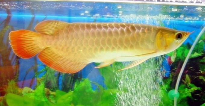 Jenis ikan hias air tawar tergolong besar