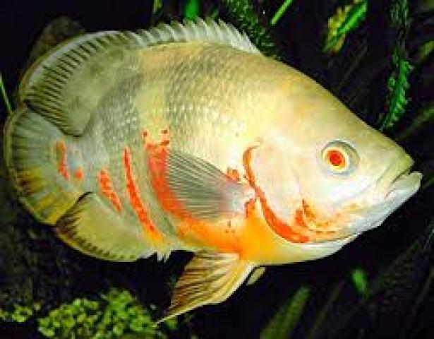 Jenis ikan hias air tawar oscar indah