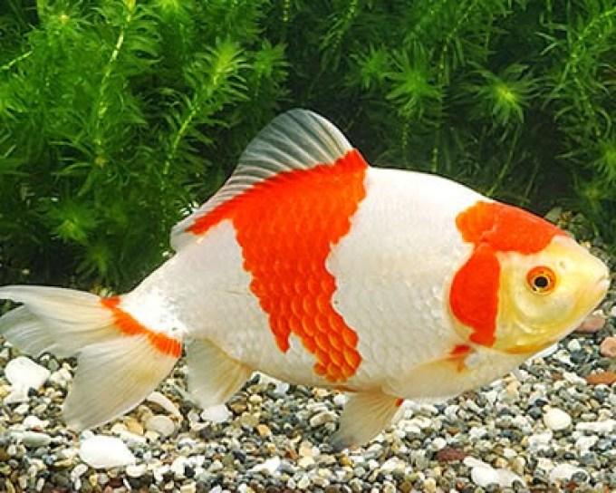 jenis ikan hias air tawar wakin bagus aquarium