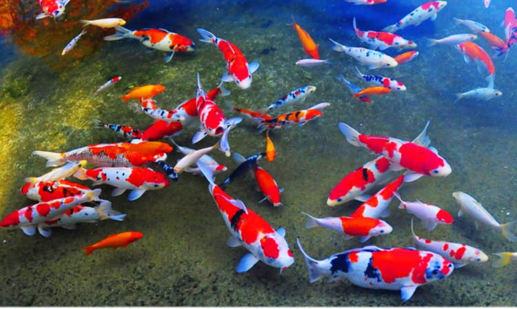 jenis ikan hias air tawar koi yang bagus