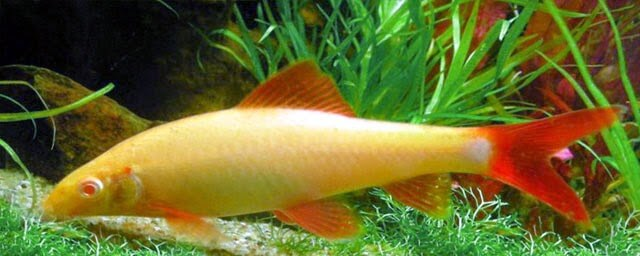 jenis ikan hias air tawar refish bagus