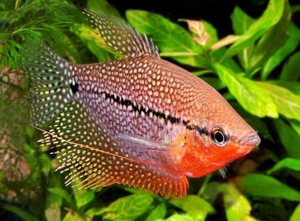 jenis ikan air tawar sepat aquarium